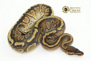 Super Paint Poss Yellowbelly Female