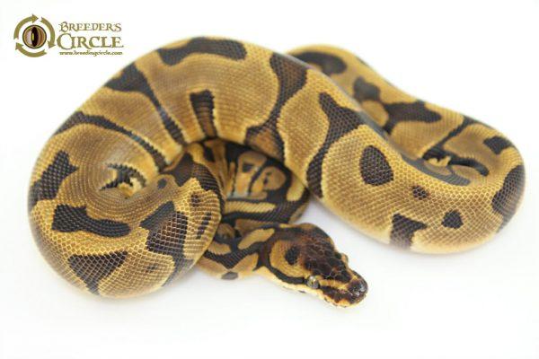 16LeopardEnchiF16501-165g