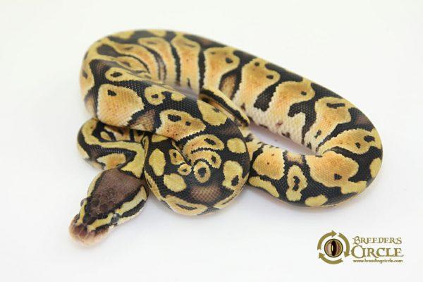 PastelF17151-70g