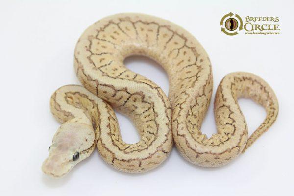 SpotnoseEmperorPinF17308-50g