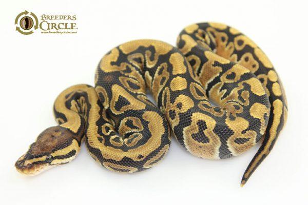 Vanilla100%HetClownF17361-115g
